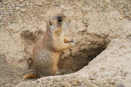 prairie dog standing at the entry to his hole