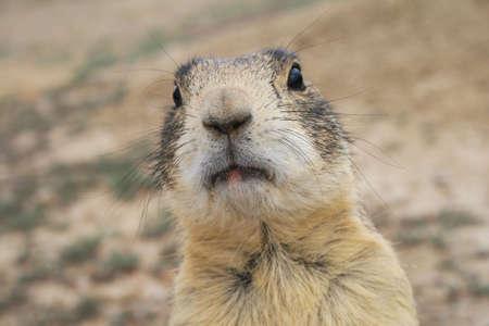 close-up van de prairie honden gezicht