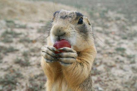 closeup of prairie dog eating a grape Stock Photo - 3544095