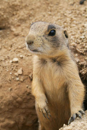 prairie dog standing in hole Stock Photo