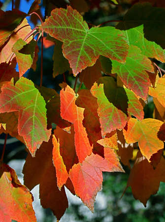 bright fall maple leafs on tree Stock Photo - 4099306