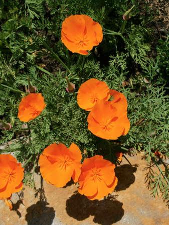 california poppies in full bloom