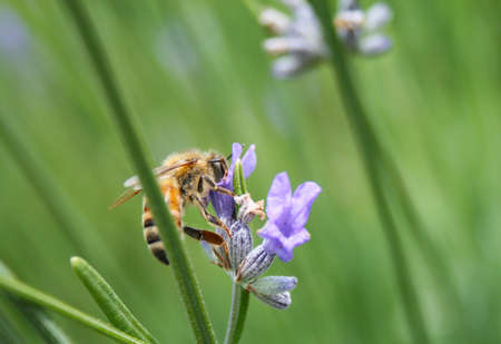 close up bee on lavender flower
