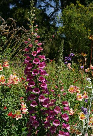 foxglove in garden