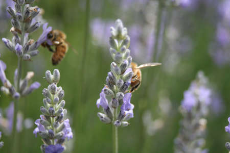 two bees on lavender Stock Photo