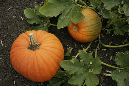 pumpkins on the vine in a pumpkin patch photo