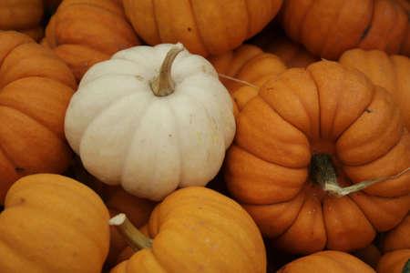 enkele witte pompoen temidden van oranje pompoenen  Stockfoto