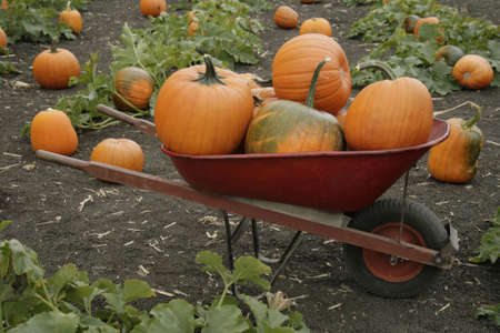 wheelbarrel in pumpkin patch