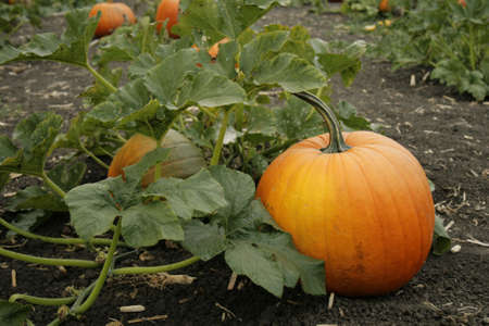 gourds: pumpkin on the vine Stock Photo