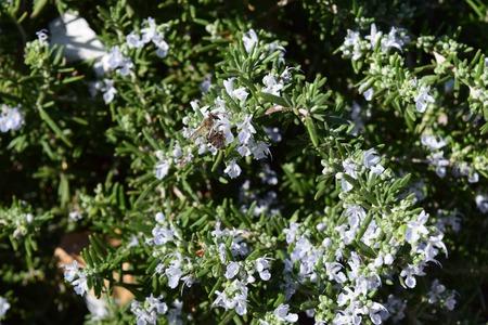 Bee collecting pollen from juniper flower