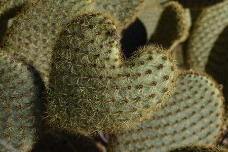 Heart shaped cactus among other cactus