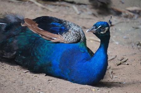 The Thoughtful peacock taking his sun bath
