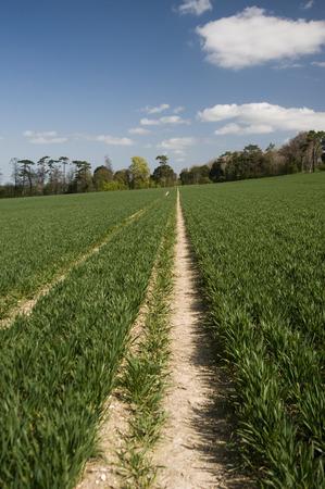 u k: young crops growing in a field in U K