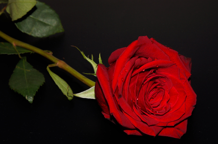 rejections: Red rose with water droplets
