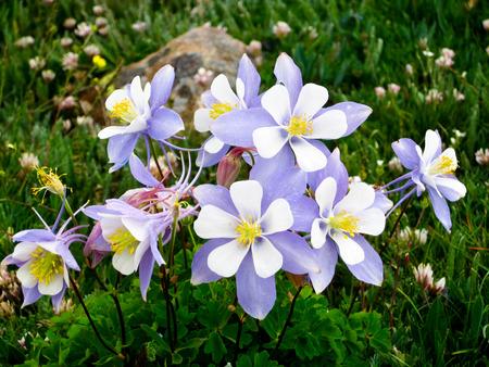 alpine tundra: Colorado Columbine Flowers in Alpine Meadow