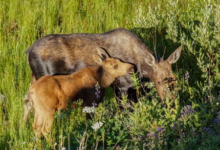 mother and baby deer: Mother moose and calf Stock Photo
