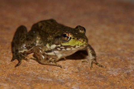 green frog: Green frog Stock Photo