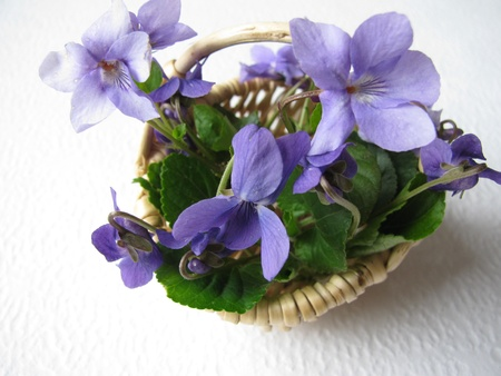 violeta: Violets in basket