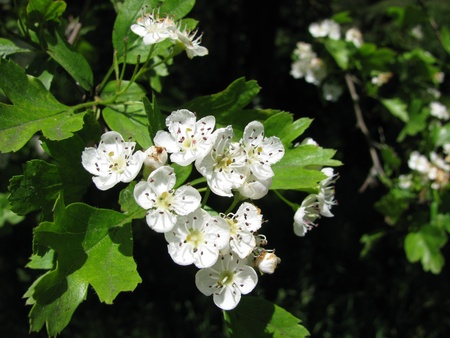 Hawthorn, Crataegus monogyna Stock Photo