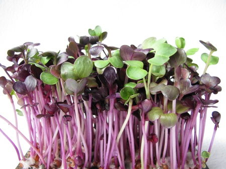 Red radish sprouts