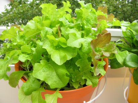 Lettuce in hanging basket on balcony