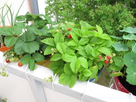 Aardbeien in potten op balkon Stockfoto