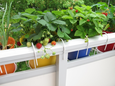 Strawberries in flowerpots on balcony