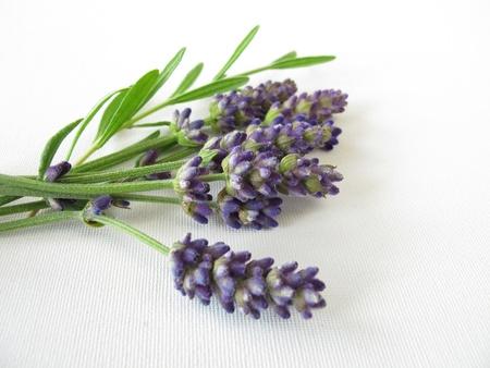 lavandula angustifolia: Bunch of lavender Stock Photo