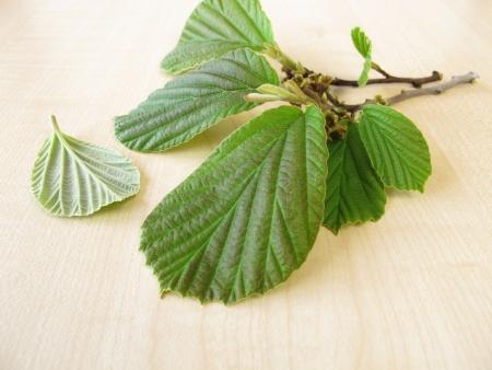 witchhazel: Branch of fresh hamamelis