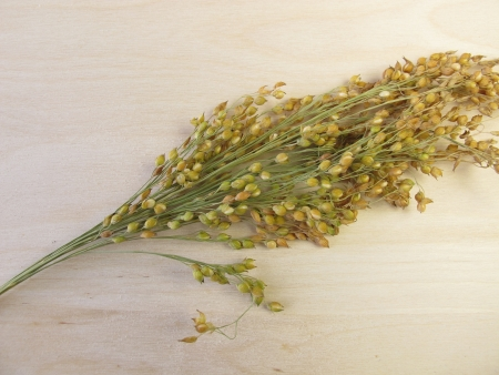 panicle: Panicle millet