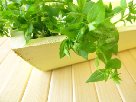 chickweed: Wild vegetables chickweed