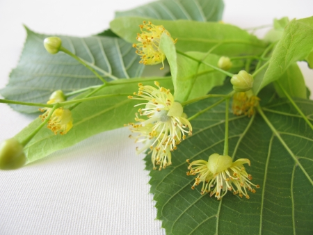 Twigs with linden flowers