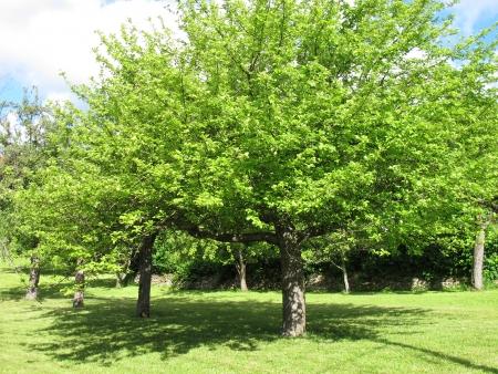 alberi da frutto: Alberi da frutto in un prato in giardino