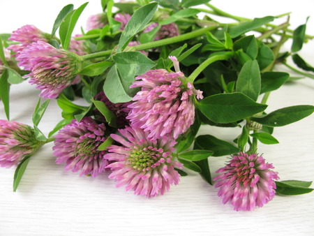 Bouquet of red clover photo
