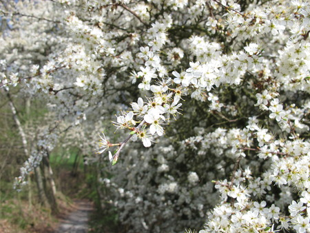 Blackthorn flowers photo