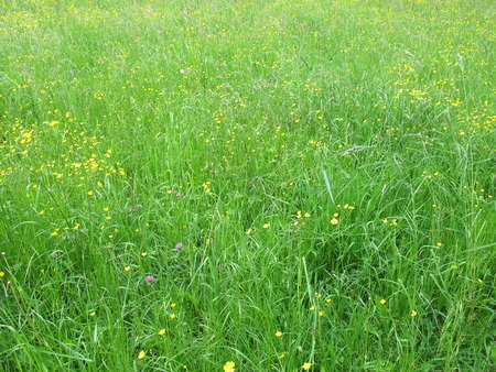 buttercups: Meadow with buttercups