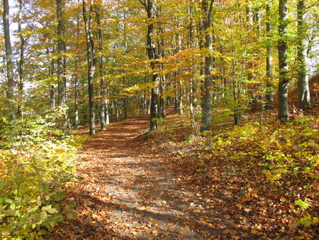 broad leaved tree: Country lane in a deciduous forest in autumn