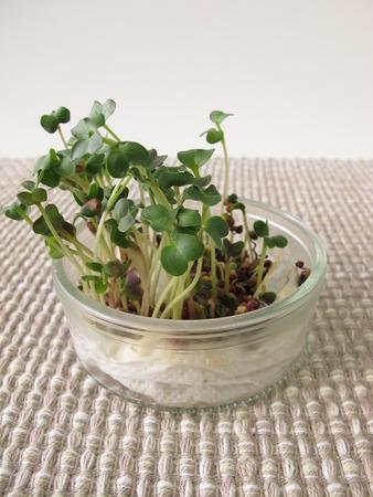 radish: Radish sprouts Stock Photo
