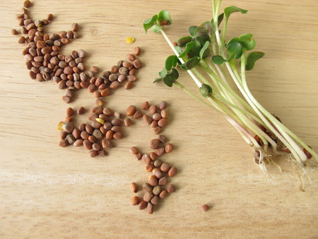 radishes: Radishes seeds and sprouts Stock Photo