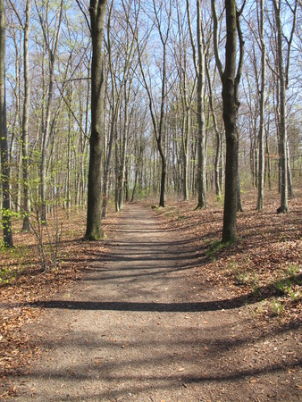 deciduous forest: Country lane in a deciduous forest in spring