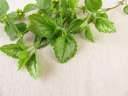 herbs wild: Wild herbs bouquet with deadnettle