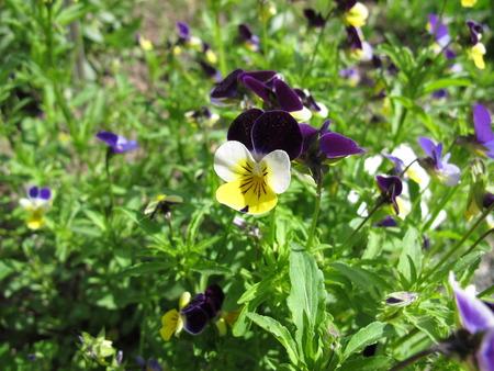 Heartsease, viola tricolor Stock Photo
