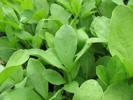 naturopathy: Bogbean, Menyanthes trifoliata Stock Photo