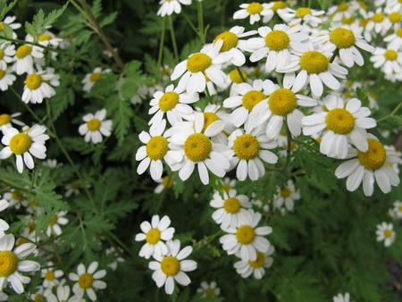 naturopathy: Flowering Feverfew, Tanacetum parthenium