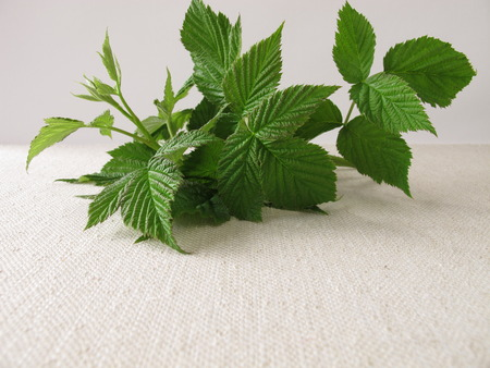 naturopathy: Raspberry leaves for raspberry leaf tea Stock Photo