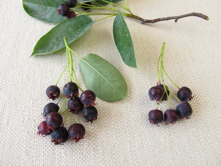 pome: Ripe Juneberries Stock Photo