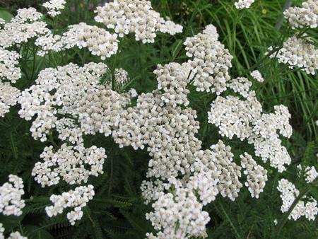 yarrow: Flowering common yarrow, Achillea millefolium Stock Photo