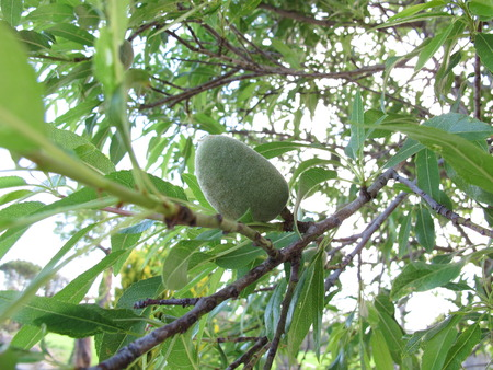 almond tree: Almonds on almond tree