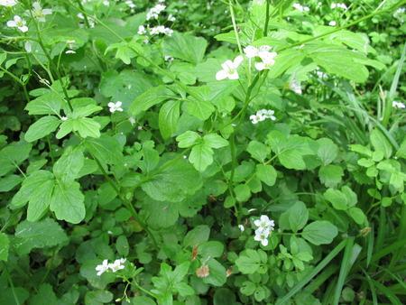 watercress: Blooming watercress, Nasturtium officinale Stock Photo
