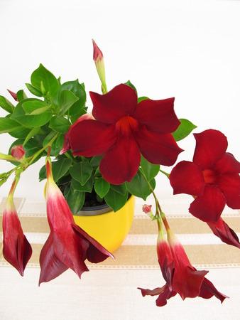 dipladenia: Flowering Dipladenia houseplant and balcony plans Archivio Fotografico